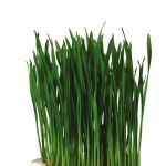 Wheat Grass_wb.jpg