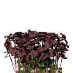Shiso Purple_wb.jpg